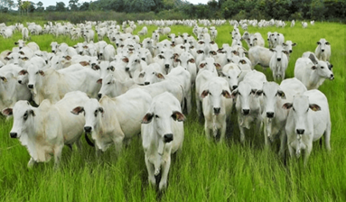 BREEDING BEEF CATTLE BUSINESS IN BRAZIL